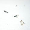 Ring-billed gulls in snow
