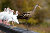 Limpkin and Ibis spooked onto the boardwalk by a Harrier at Green Cay Nature Center