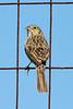 Cassin's Sparrow at Falcon Dam