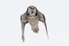 Flying Northern Hawk Owl