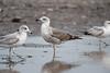 Interesting gulls