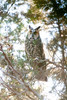 Long-eared Owl, Cape May State Park