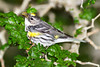Yellow-rumped Warbler with a misformed bill at South Padre Island