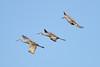 Sandhill Cranes Lucky Hammock Everglades