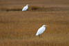 Great Egrets, Cape May, NJ