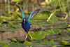 Purple Gallinule at Anhinga Trail