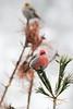Pine Grosbeaks, Algonquin VC