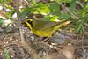 Kentucky Warbler, High Island, TX