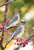 Cedar Waxwings, Cape May, NJ