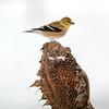 American Goldfinch on a spent snowy sunflower