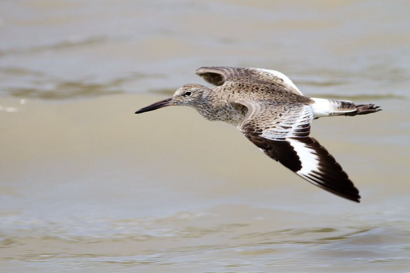 Eastern Willet at South Padre TX