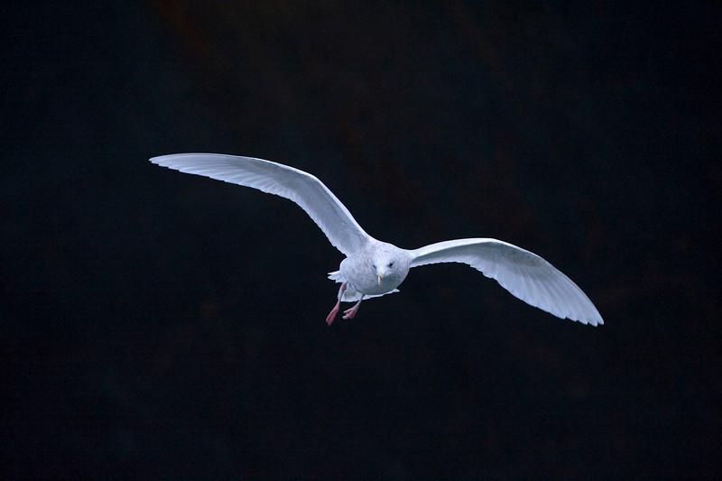 Iceland Gull, St. Johns, Newfoundland
