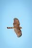Sharp-shinned Hawk, Cape May, NJ