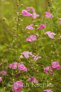 Agalinis purpurea, Pine-Barren Gerardia; Ocean County, New Jersey 2014-09-05   1