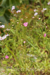 Agalinis setacea, Thread-leaved Gerardia; Burlington County, New Jersey 2014-09-09   1