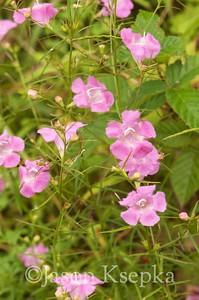 Agalinis purpurea, Pine-Barren Gerardia; Ocean County, New Jersey 2014-09-05   3