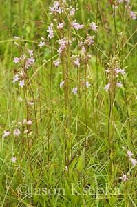 Penstemon laevigatus, eastern smooth beardtongue; Columbus County, North Carolina 2016-05-31   4