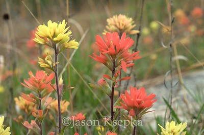 Castilleja coccinea mixed forms (lutescens & coccinea), Scarlet Indian Paintbrush; Jefferson County, Missouri  2011-04-25  #6