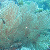 Beautiful Red Gorgonian soft coral.