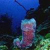 Azure Vase sponge