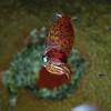 Little squid