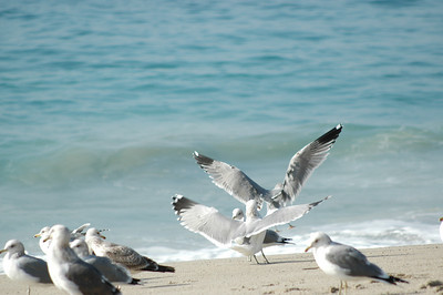 gulls (10)