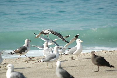 gulls (13)