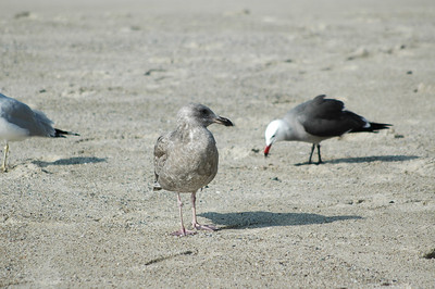 gulls (17)