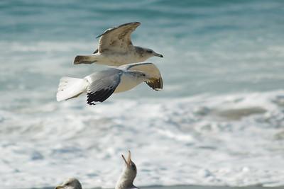 gulls (8)-recrop