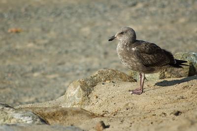 gulls (01)