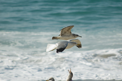 gulls (8)