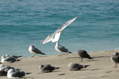 gulls (7)