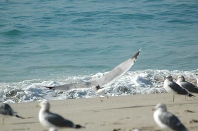 gulls (11)