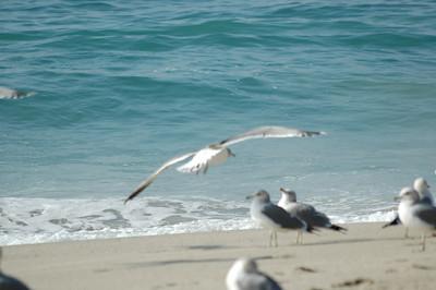 gulls (9)