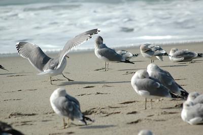 gulls (14)