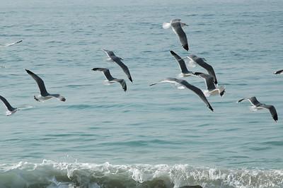gulls (18)