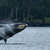 Humpback Whale (weighs up to 66,000 lbs)