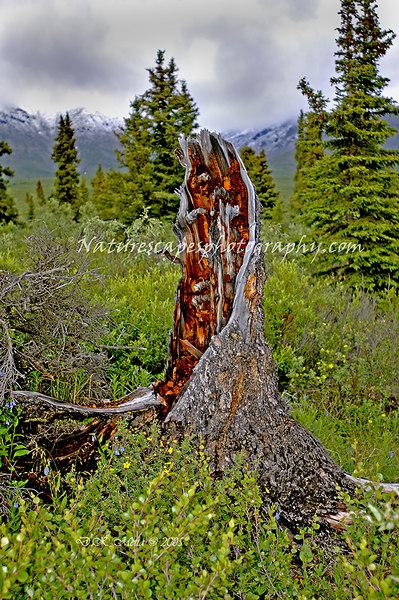 Remnant of a Forest Fire - Denali National Park, Alaska