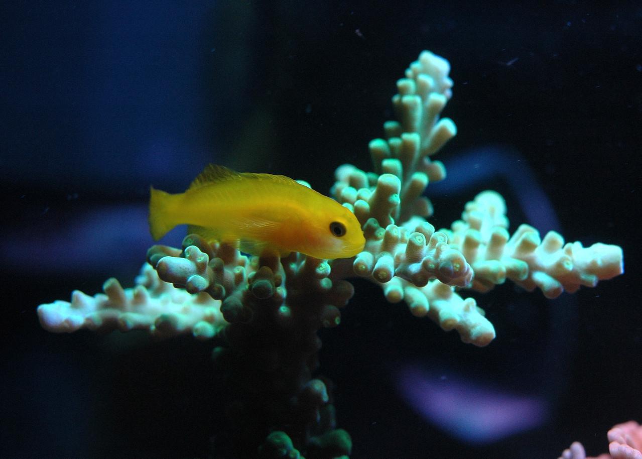 Yellow Clown Goby (Gobiodon okinawae)