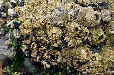 Barnacles, snails, scallops, limpets,isopods, and seaweed, oh my!
