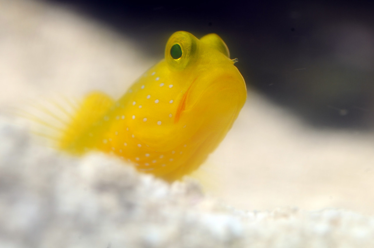 Yellow Watchman Shrimpgoby