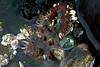 Aggregating Anemone, Anthopleura elegantissima