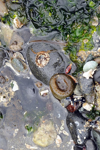 Closed anemone and limpet