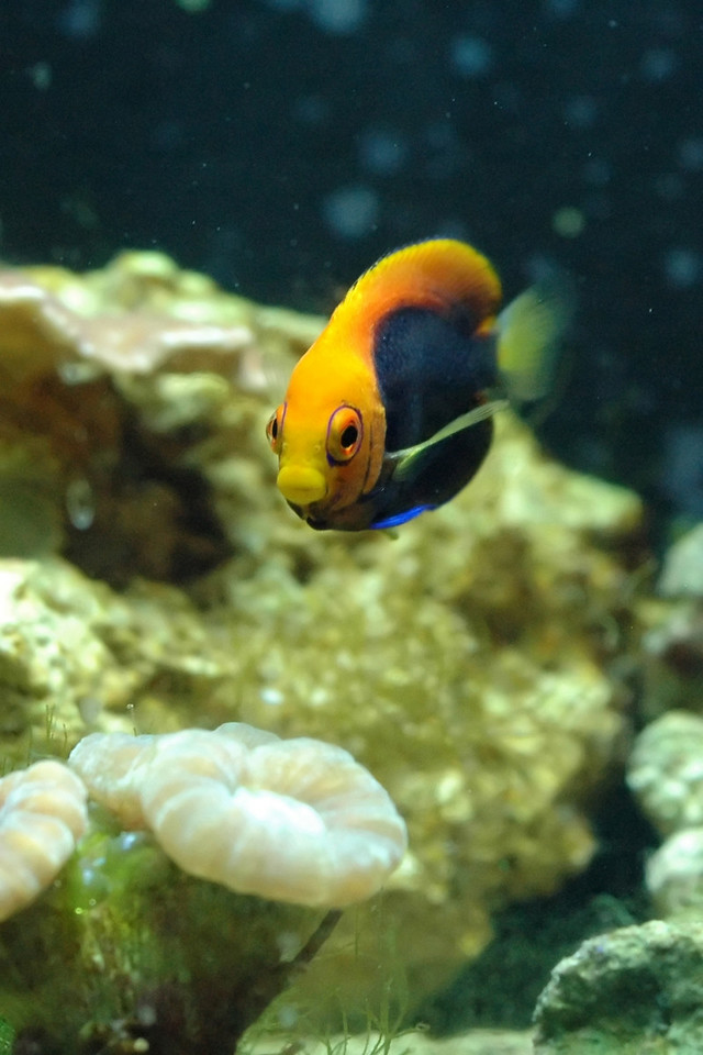 African Flameback Angelfish (Centropyge acanthops)