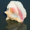 Conch Reflections 410