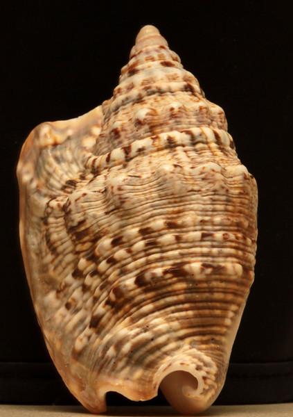 poulson's rock snail?