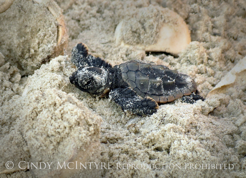 Baby loggerhead sea turtle, Jekyll Is GA (1)