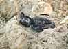 Baby loggerhead sea turtle, Jekyll Is GA (2)