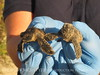 Baby loggerhead sea turtle rescued from nest, Jekyll Is GA (9)