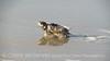 Baby loggerhead sea turtle, Jekyll Island, GA (4)